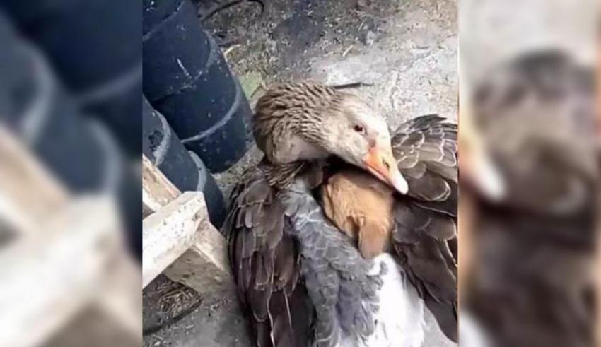 Un pato ha emocionado a las redes sociales, ¡emotivas imágenes!