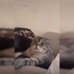 Gato muestra terror al ver en televisión a unos leones devorar a su presa