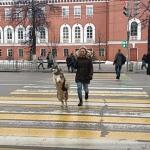 Perro se vuelve viral por su peculiar forma de cruzar la calle