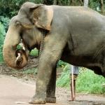 Elefante mata a su domador al sentarse encima