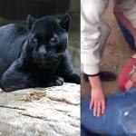 Es atacada por un jaguar tras saltar la valla de un zoológico para tomarse una selfie