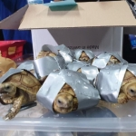Mil 529 tortugas fueron encontradas en maletas en aeropuerto de Filipinas
