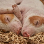 Científicos reaniman actividad en cerebros de cerdos muertos