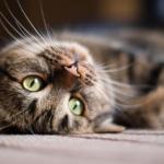 Estados Unidos pone fin a los experimentos científicos en gatos