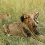 Mata elefante a cazador y leones se devoran su cuerpo