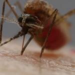 Detectan importante presencia del mosquito portador de la malaria en BC