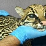 Amputan colmillos a leopardo bebé para convertirlo en gato