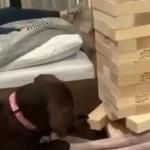 Perrito saca una pieza del Jenga sin tirarla y se hace viral