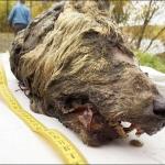 La cabeza de un lobo prehistórico fue descubierta perfectamente conservada