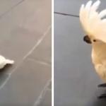 Cacatúa que se cree y actúa como perro se vuelve viral