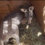 Llega pareja de canguros al zoológico de Mexicali