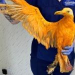 Confunden a gaviota «color naranja» con ave exótica