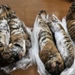 Descubren siete cachorros de tigres congelados en un auto