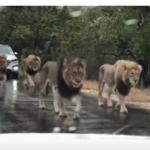 (VIDEO) Manada de leones paran el tráfico en Sudáfrica