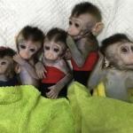 Clonan cinco monos para analizar trastorno del sueño, cáncer, y alzheimer
