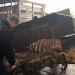 Encuentran un tigre en una casa abandonada de Houston