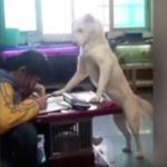 Perro vigila que su dueña haga la tarea sin distraerse