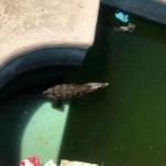 Encuentran a cocodrilo nadando en alberca privada de Nuevo León