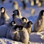 Cientos de pingüinos bebés mueren ahogados en la Antártida