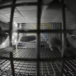 NASA muestra las carreras espaciales de ratones en microgravedad