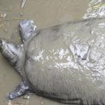 Muere la última hembra de tortuga gigante de caparazón blando del Yangtzé