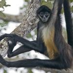 Llegan dos monos araña al zoológico de Mexicali
