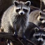 Alertan sobre 'mapaches zombis' en Estados Unidos