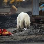 Oso polar caminó más de 800 kilómetros en busca de comida en el Ártico Ruso