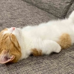 'Chata', la gatita que duerme como humano se vuelve viral