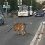 Tigre escapa del automóvil de un joven e intenta huir en Rusia