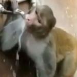 Mono cierra el grifo después de beber agua y se hace viral