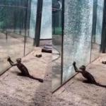 Mono rompe cristal de su jaula con una piedra y se hace viral