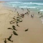136 delfines mueren misteriosamente en isla africana