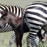 Cebra con puntos blancos y de color marrón se hace viral
