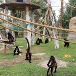 Habilitan nuevo hábitat para monos araña en el zoológico de Mexicali