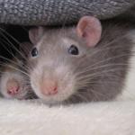 Las ratas juegan a las escondidas, revela estudio científico