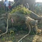 Capturan a elefante 'Bin Laden' con ayuda de drones